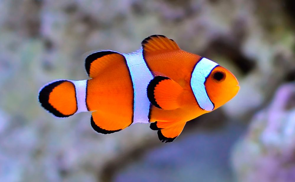 pez payaso amphiprion